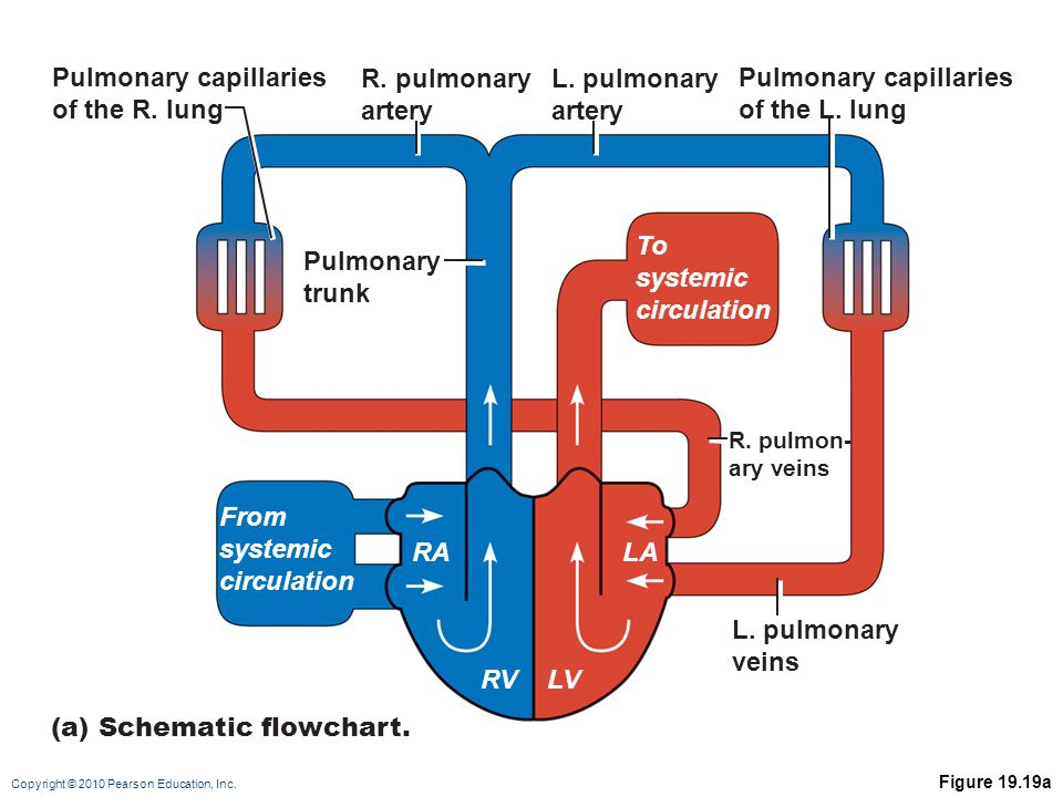 Pulmonary capillaries of the R. lung R. pulmonary artery L. pulmonary