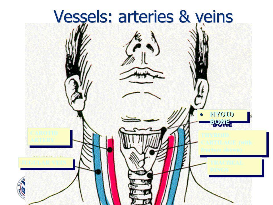 Vessels: arteries & veins