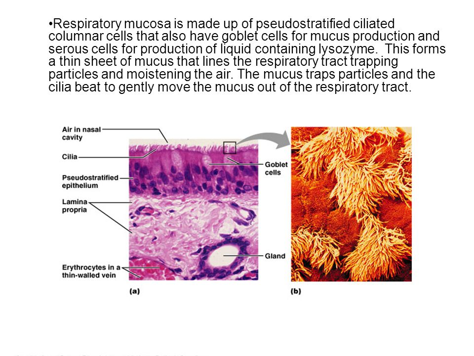 Respiratory mucosa is made up of pseudostratified ciliated columnar cells that also have goblet cells for mucus production and serous cells for production of liquid containing lysozyme.