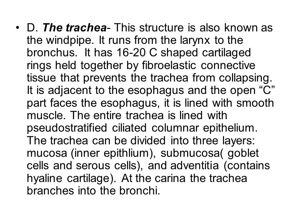 D. The trachea- This structure is also known as the windpipe