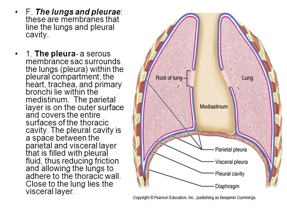 F. The lungs and pleurae: these are membranes that line the lungs and pleural cavity.