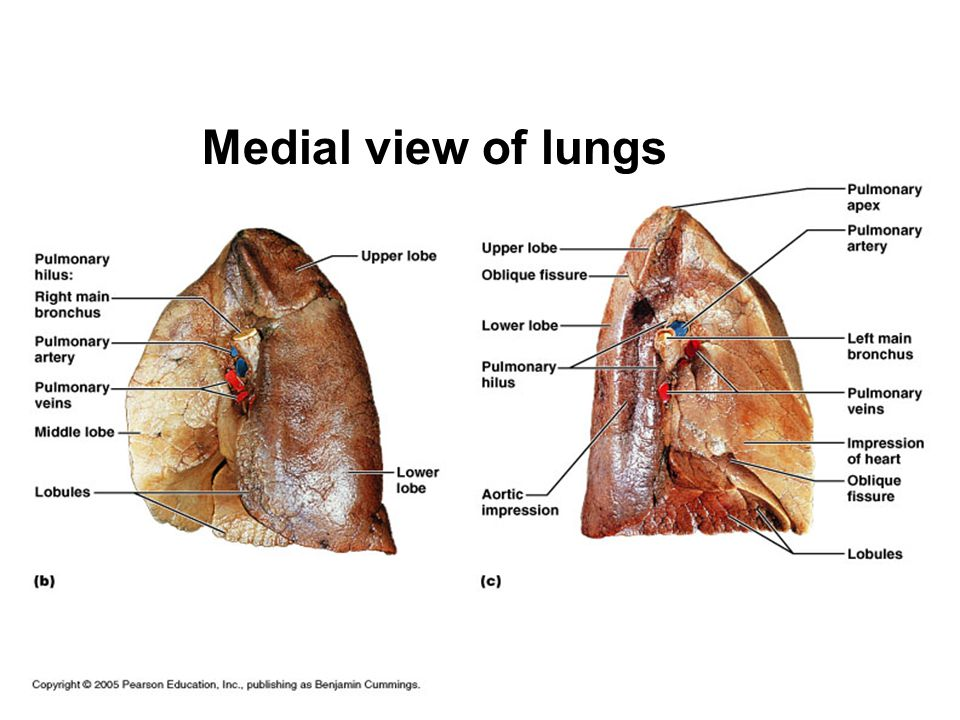 Medial view of lungs