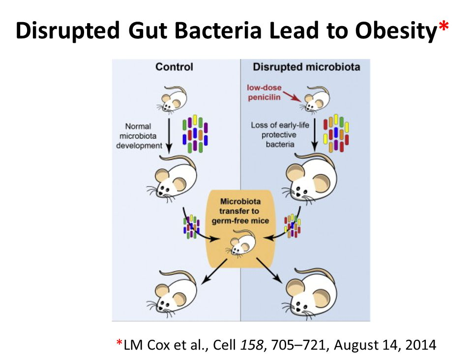 Disrupted Gut Bacteria Lead to Obesity*