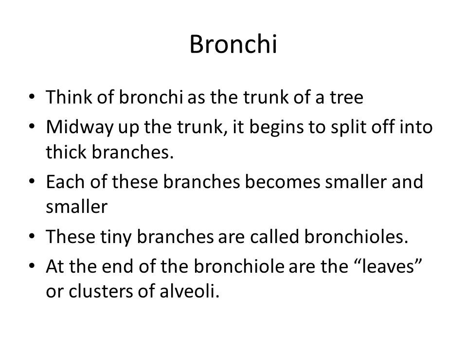 Bronchi Think of bronchi as the trunk of a tree