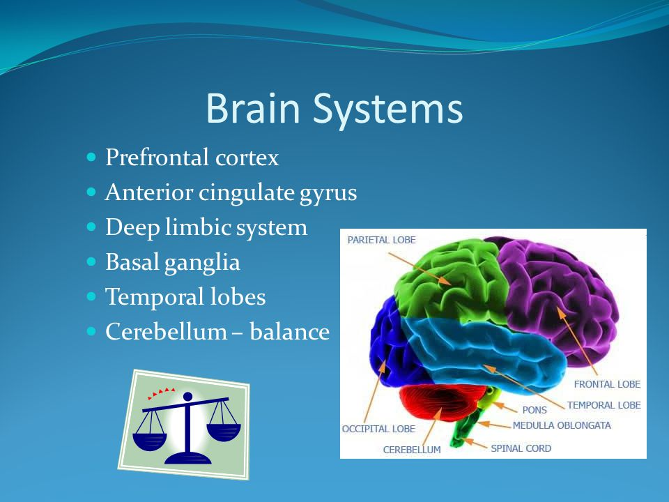 Brain Systems Prefrontal cortex Anterior cingulate gyrus