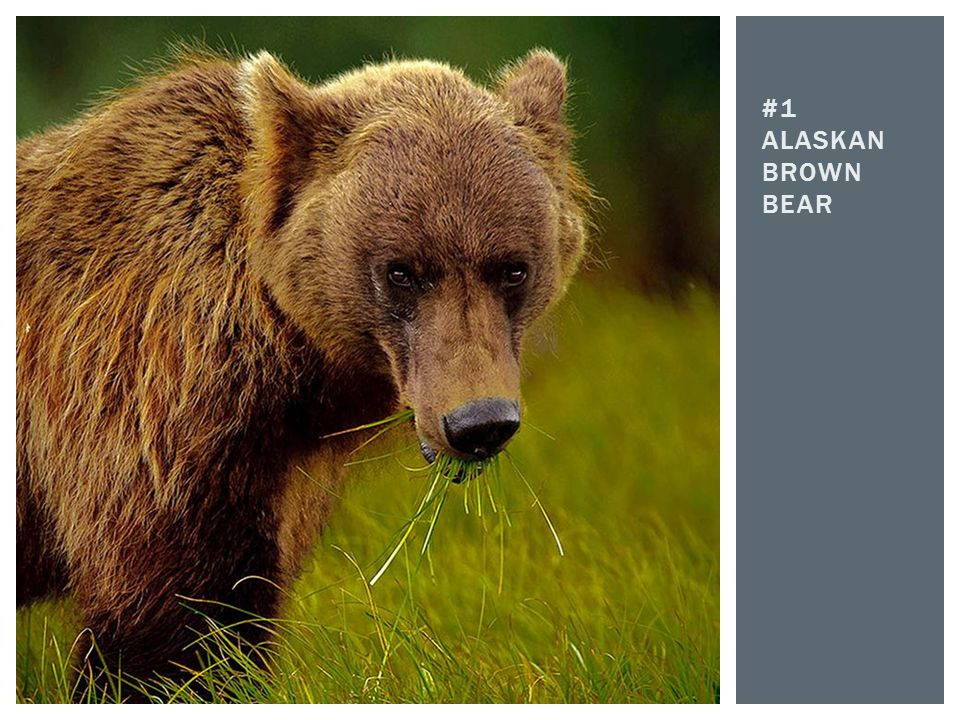#1 Alaskan brown bear