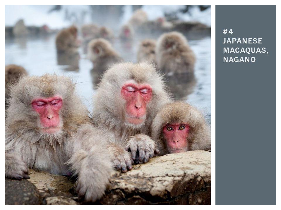 #4 Japanese macaquas, nagano