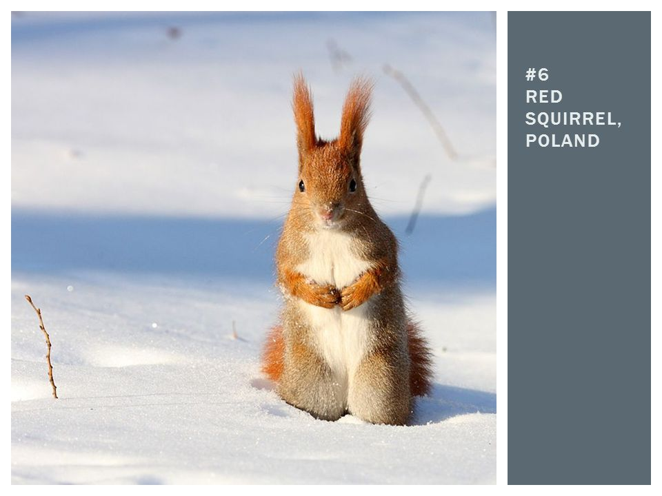 #6 Red squirrel, poland
