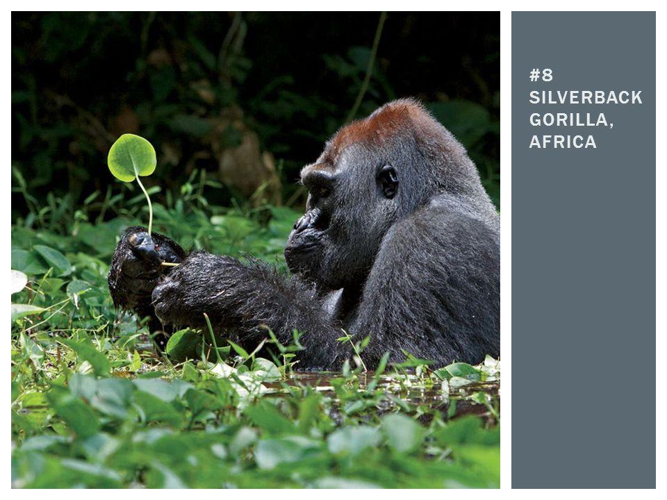 #8 Silverback gorilla, africa