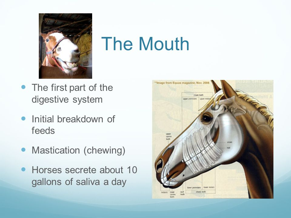 The Mouth The first part of the digestive system
