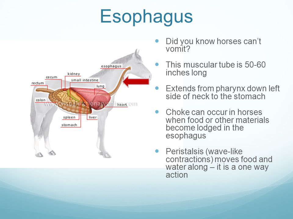 Esophagus Did you know horses can't vomit