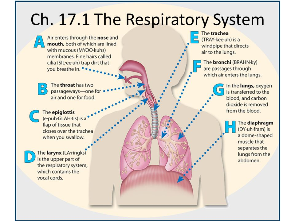Ch. 17.1 The Respiratory System