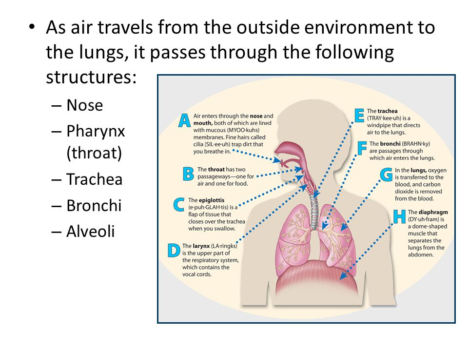 As air travels from the outside environment to the lungs, it passes through the following structures:
