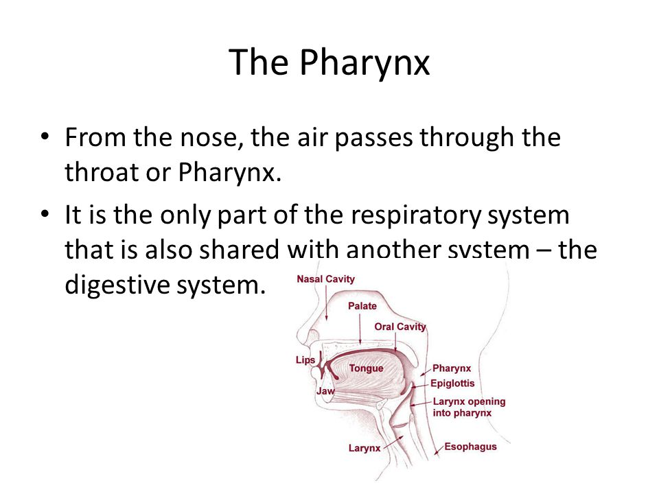 The Pharynx From the nose, the air passes through the throat or Pharynx.