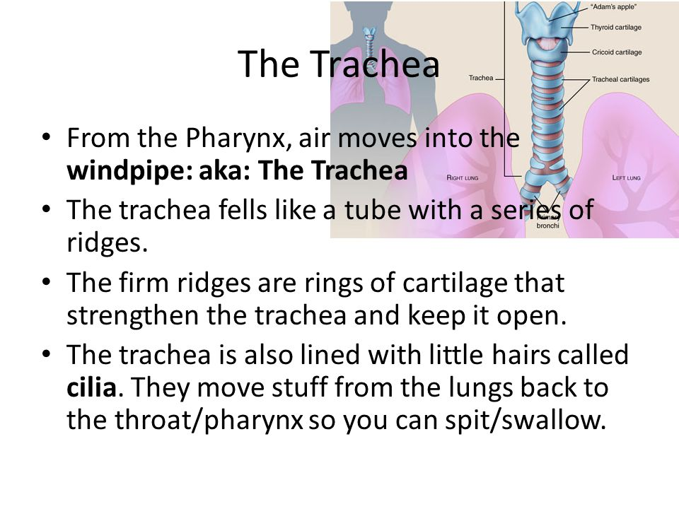The Trachea From the Pharynx, air moves into the windpipe: aka: The Trachea. The trachea fells like a tube with a series of ridges.