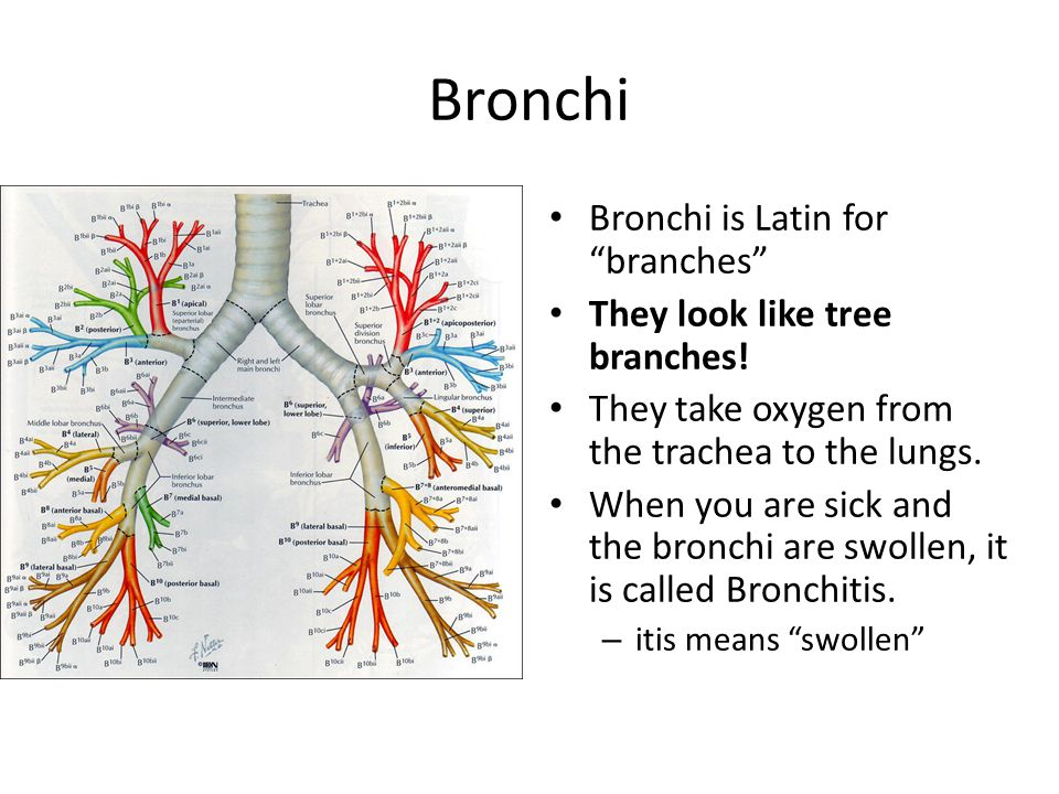 Bronchi Bronchi is Latin for branches They look like tree branches!