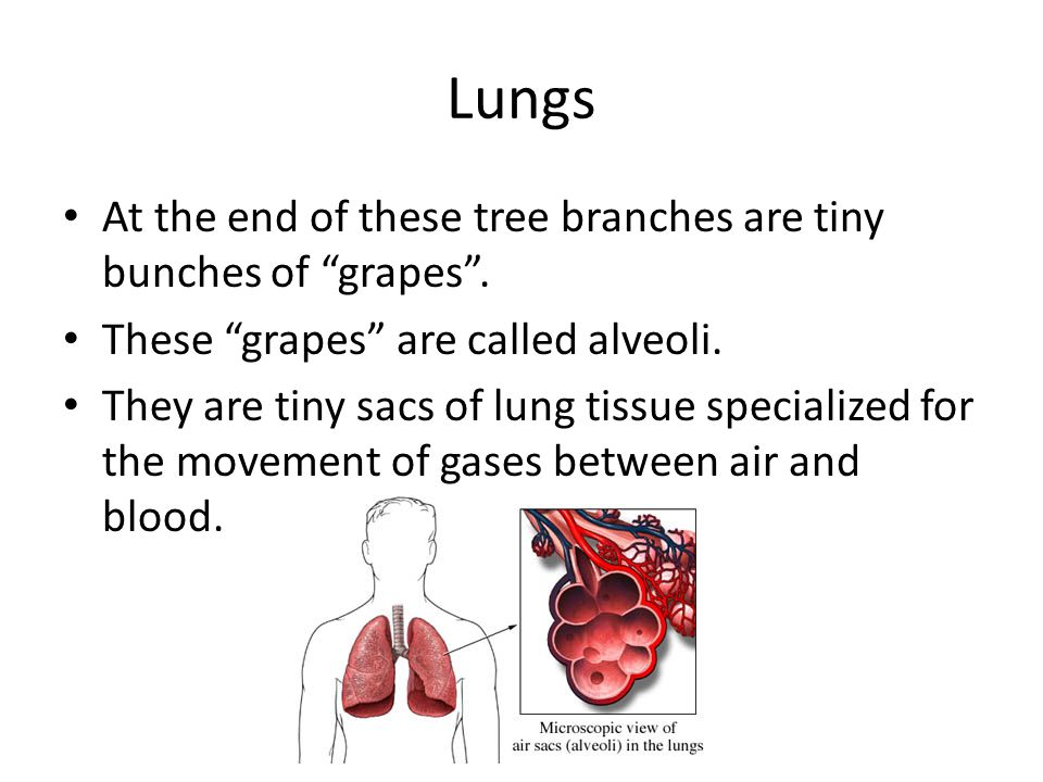 Lungs At the end of these tree branches are tiny bunches of grapes .