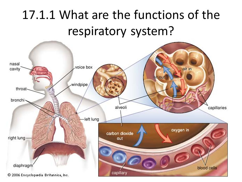 17.1.1 What are the functions of the respiratory system