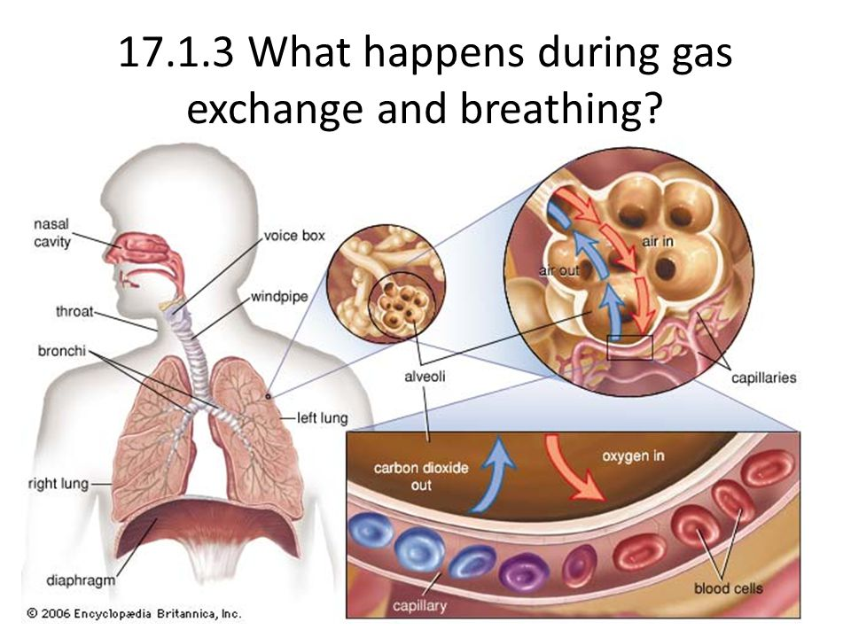 17.1.3 What happens during gas exchange and breathing