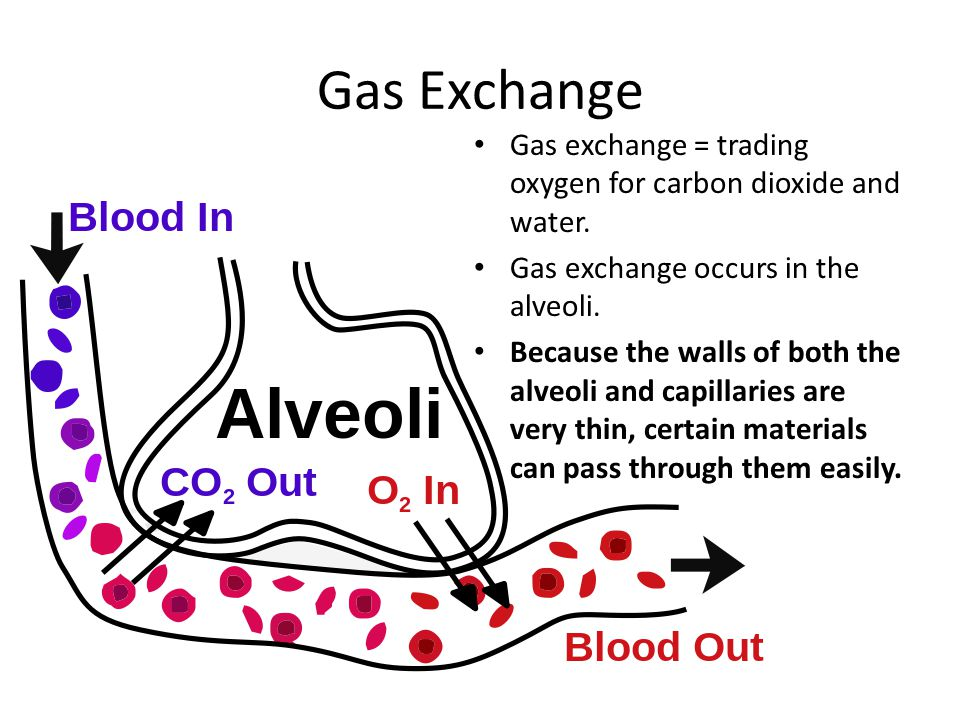 Gas Exchange Gas exchange = trading oxygen for carbon dioxide and water. Gas exchange occurs in the alveoli.