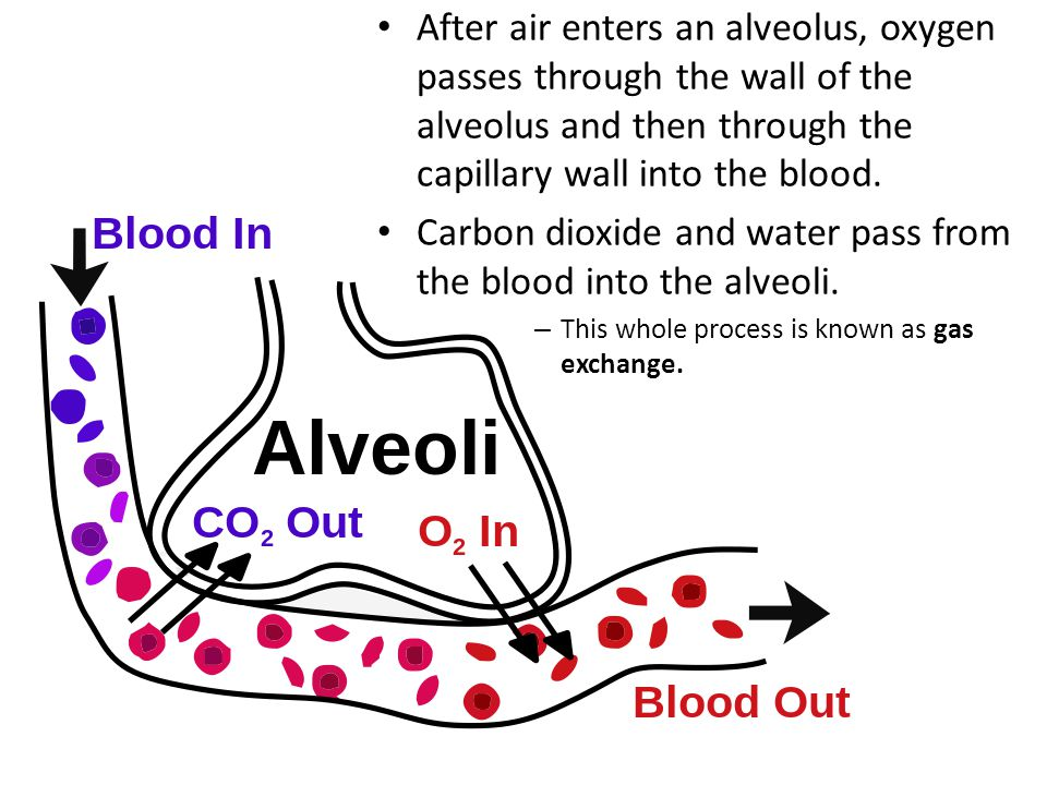 Carbon dioxide and water pass from the blood into the alveoli.