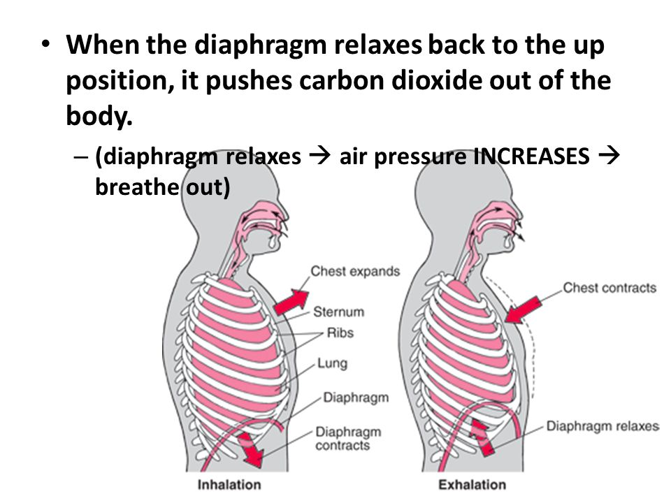 When the diaphragm relaxes back to the up position, it pushes carbon dioxide out of the body.