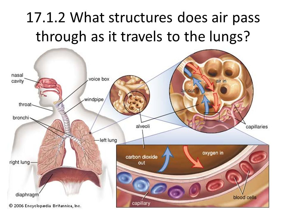 17.1.2 What structures does air pass through as it travels to the lungs