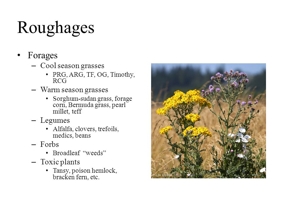 Roughages Forages Cool season grasses Warm season grasses Legumes