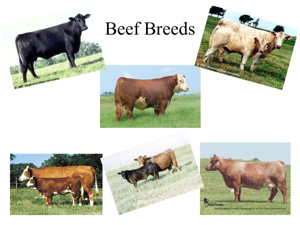 Beef Breeds This three--‐hour morning class will focus on cattle