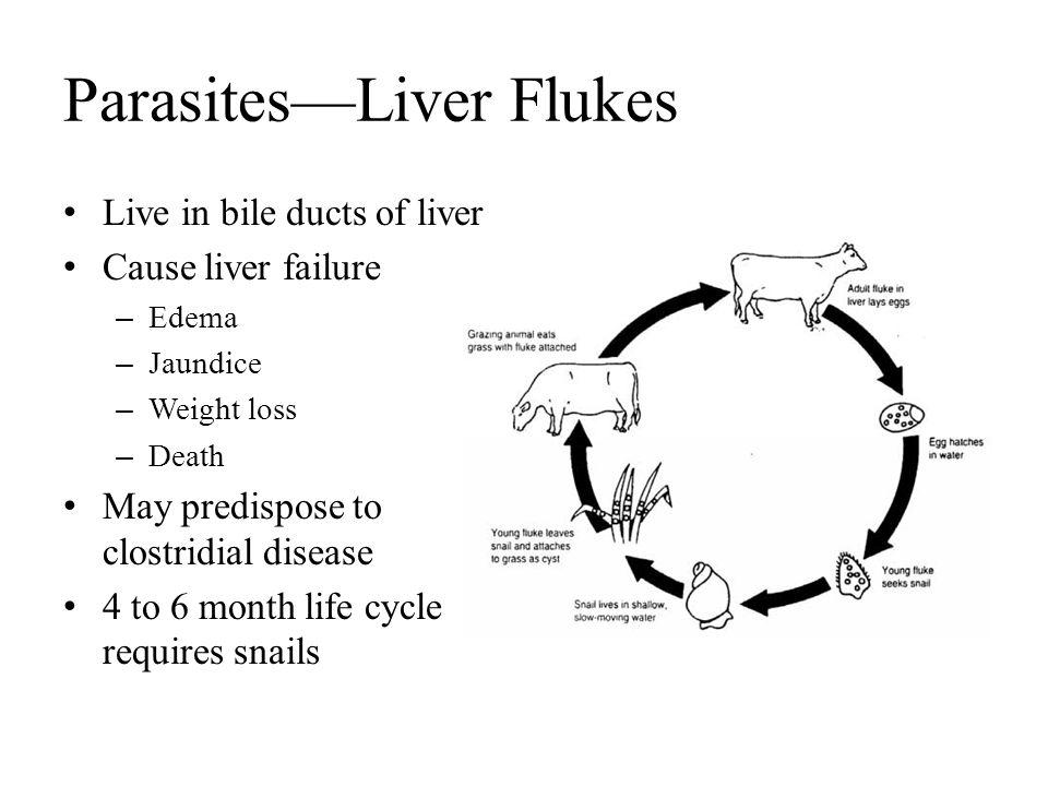 Parasites—Liver Flukes