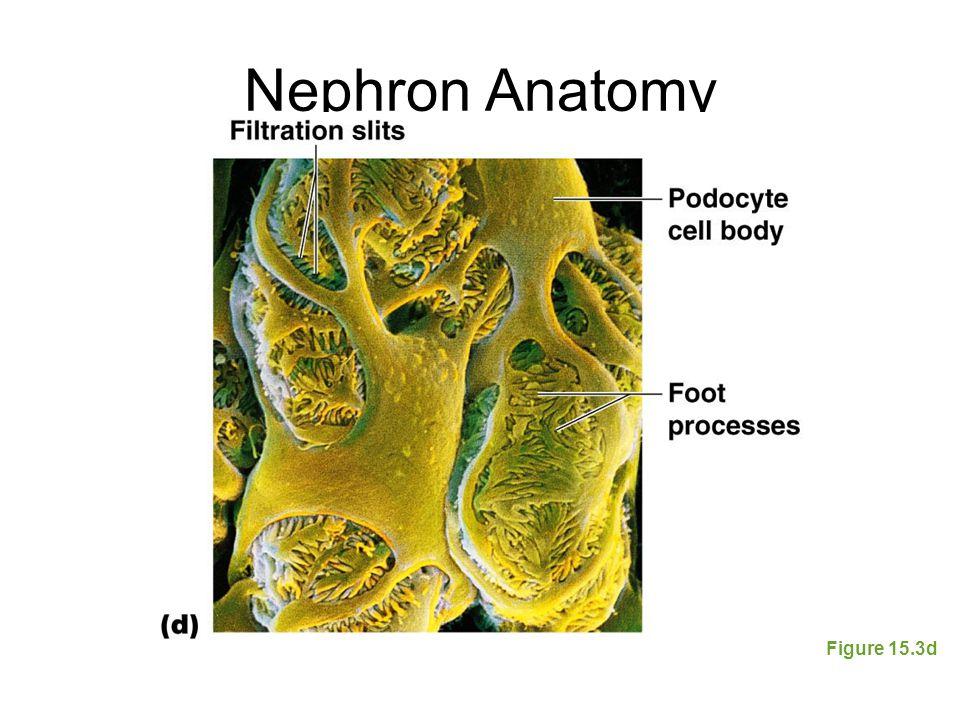 Nephron Anatomy Figure 15.3d