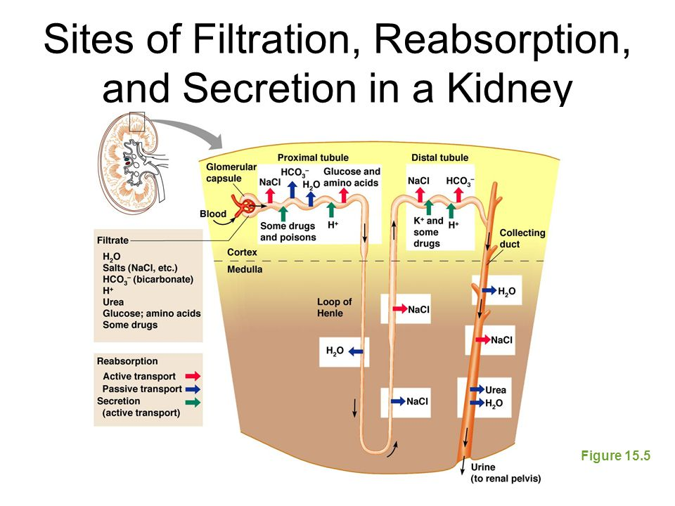 Sites of Filtration, Reabsorption, and Secretion in a Kidney