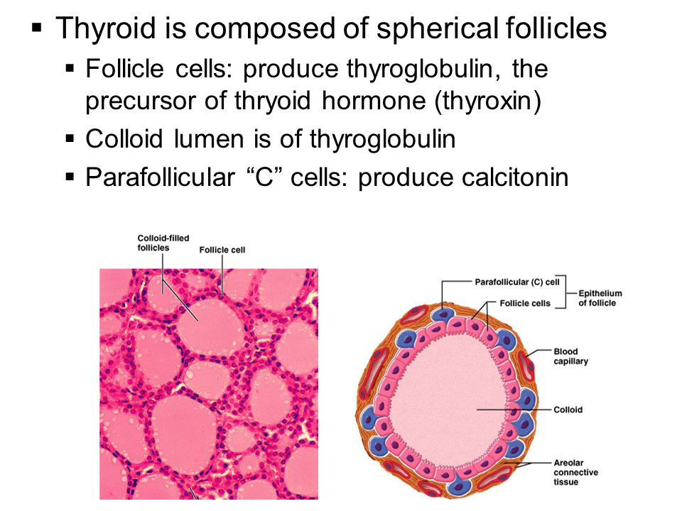 Thyroid is composed of spherical follicles
