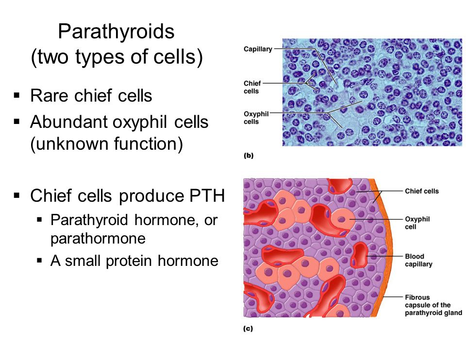 Parathyroids (two types of cells)