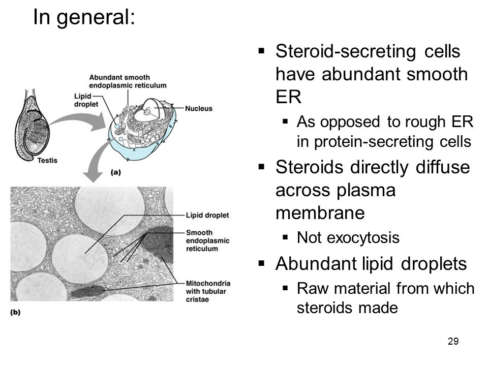 In general: Steroid-secreting cells have abundant smooth ER
