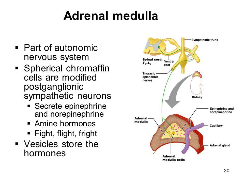 Adrenal medulla Part of autonomic nervous system