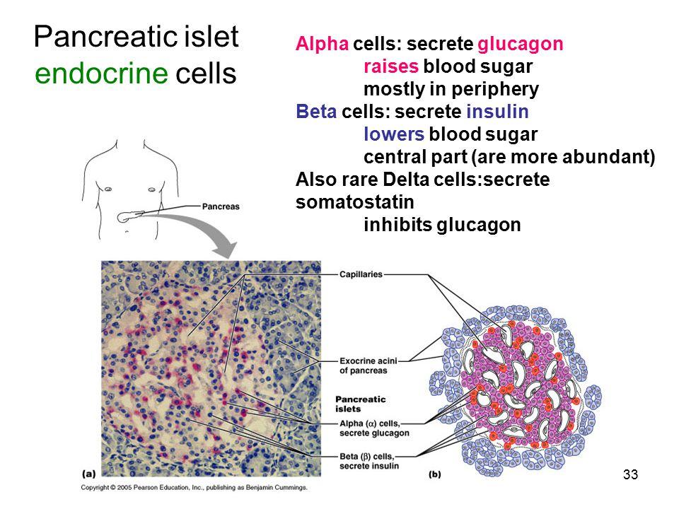 Pancreatic islet endocrine cells