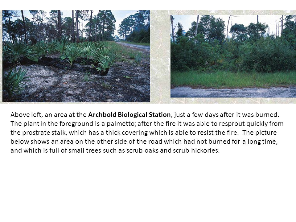 Above left, an area at the Archbold Biological Station, just a few days after it was burned.