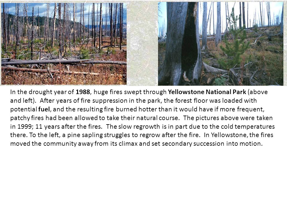 In the drought year of 1988, huge fires swept through Yellowstone National Park (above and left). After years of fire suppression in the park, the forest floor was loaded with potential fuel, and the resulting fire burned hotter than it would have if more frequent, patchy fires had been allowed to take their natural course. The pictures above were taken in 1999; 11 years after the fires. The slow regrowth is in part due to the cold temperatures there.