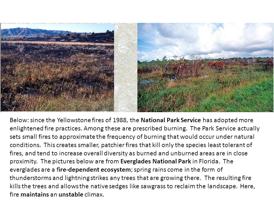 Below: since the Yellowstone fires of 1988, the National Park Service has adopted more enlightened fire practices.