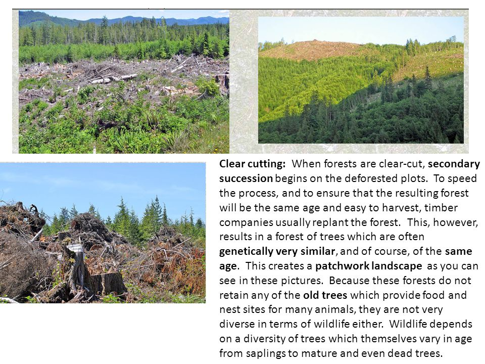 Clear cutting: When forests are clear-cut, secondary succession begins on the deforested plots. To speed the process, and to ensure that the resulting forest will be the same age and easy to harvest, timber companies usually replant the forest. This, however, results in a forest of trees which are often genetically very similar, and of course, of the same age. This creates a patchwork landscape as you can see in these pictures. Because these forests do not retain any of the old trees which provide food and nest sites for many animals, they are not very diverse in terms of wildlife either. Wildlife depends on a diversity of trees which themselves vary in age from saplings to mature and even dead trees.