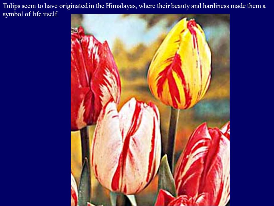 Tulips seem to have originated in the Himalayas, where their beauty and hardiness made them a symbol of life itself.