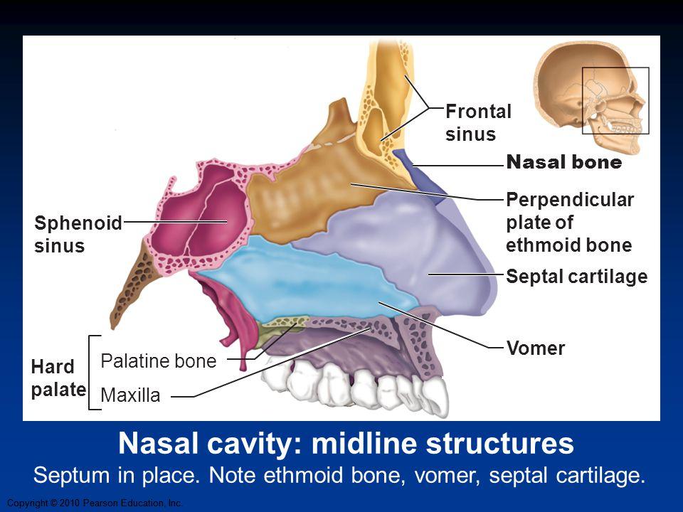 Nasal cavity: midline structures