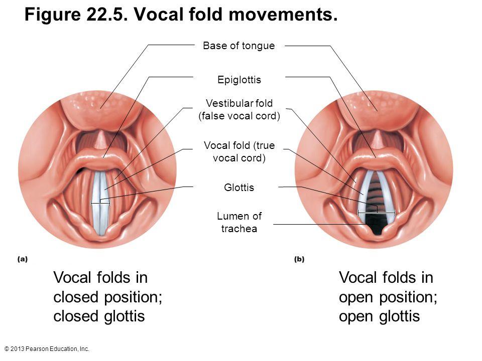 Figure 22.5. Vocal fold movements.
