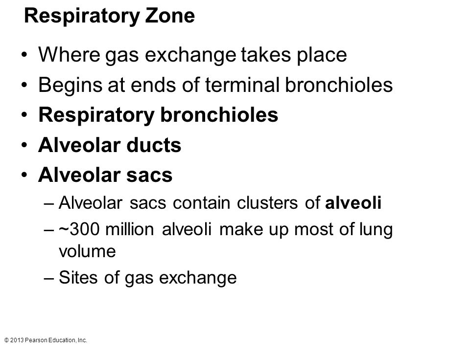 Where gas exchange takes place Begins at ends of terminal bronchioles