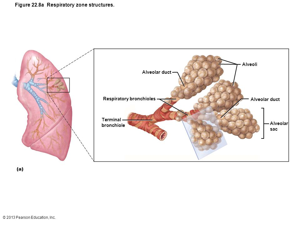 Figure 22.8a Respiratory zone structures.