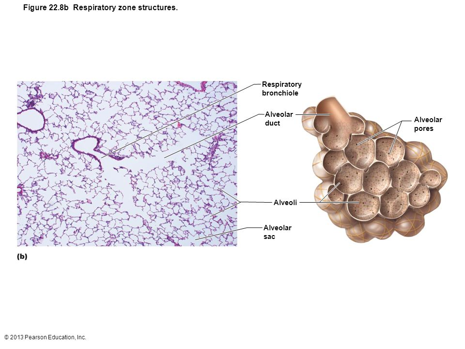 Figure 22.8b Respiratory zone structures.