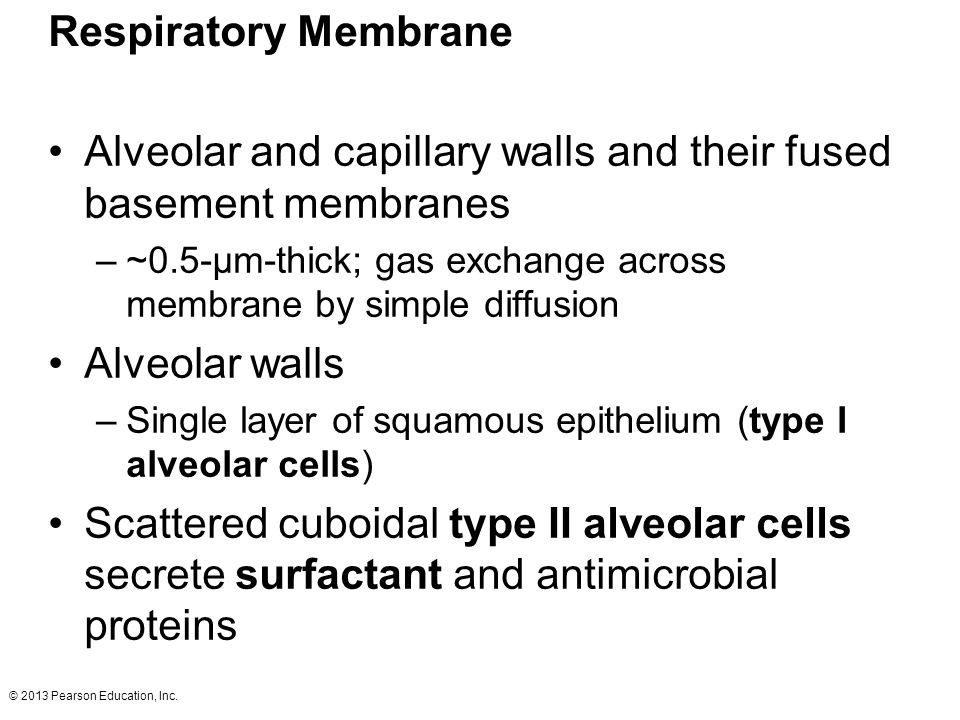 Alveolar and capillary walls and their fused basement membranes