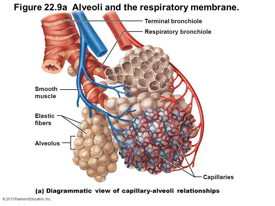 Figure 22.9a Alveoli and the respiratory membrane.