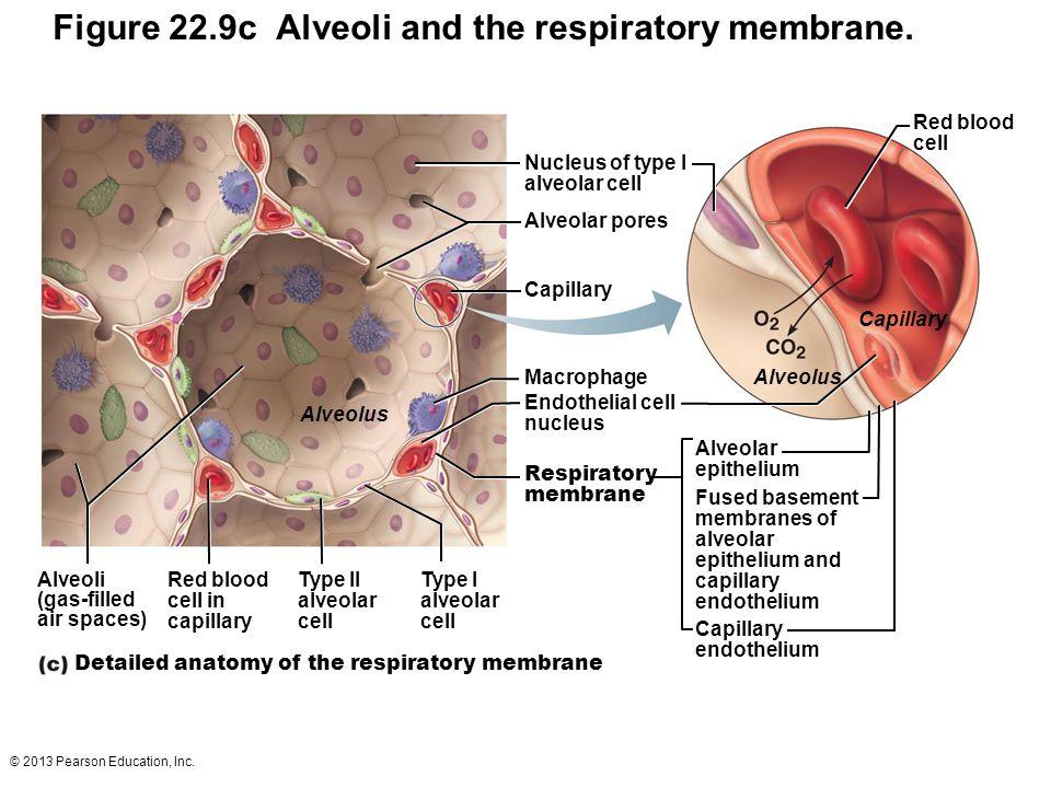 Figure 22.9c Alveoli and the respiratory membrane.
